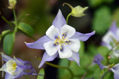 花びらのように見える萼(がく)が美しい花(オダマキ) Fototapeta