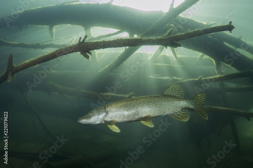 Fotografie, Obraz  Freshwater fish Northern pike (Esox lucius) in the beautiful clean pound