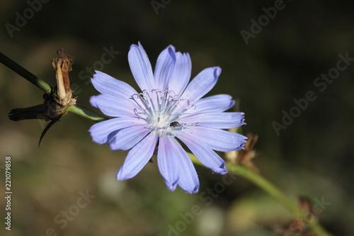 Fototapeta blue chicory flower obraz na płótnie