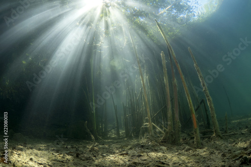 Fotografia, Obraz  Beautiful and romantic underwater landscape with reed (Typha) in the clean pound