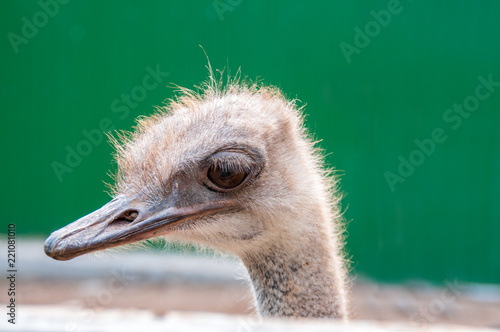 Keuken foto achterwand Struisvogel Ostrich head close-up