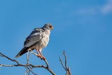 Pale Chanting Goshawk Bird In ...
