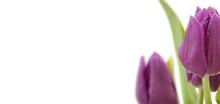 Purple Tulips Isolated