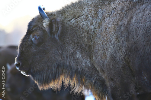 Fototapeta  Aurochs bison in nature / winter season, bison in a snowy field, a large bull bu