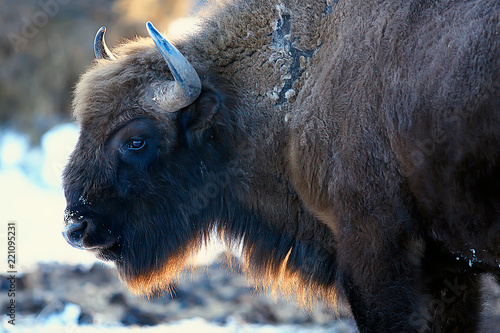 In de dag Bison Aurochs bison in nature / winter season, bison in a snowy field, a large bull bufalo