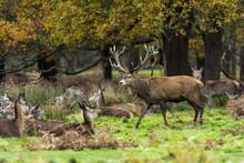 Red Deer In Richmond Park, Lon...