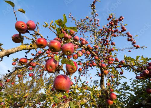 viele rote Äpfel am Baum auf einer Streuobstwiese