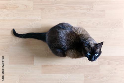 siamese cat sitting on laminate floor looking up Canvas Print