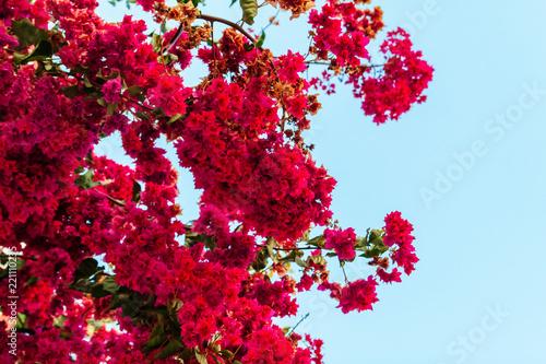 Stampa su Tela Pink blooming bougainvilleas