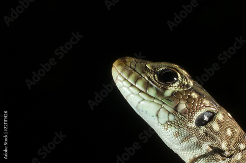 Photo  Ocellated lizard (Timon lepidus) head details, low key