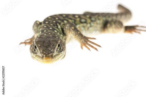 Ocelated lizard (Timon lepidus) high key, portrait Canvas Print