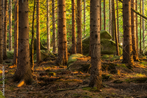 Wall Murals Forest Spruce Tree Forest with big rocks in the last light of the evening sun