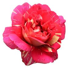 Beautiful Flower Pink Rose Tea...
