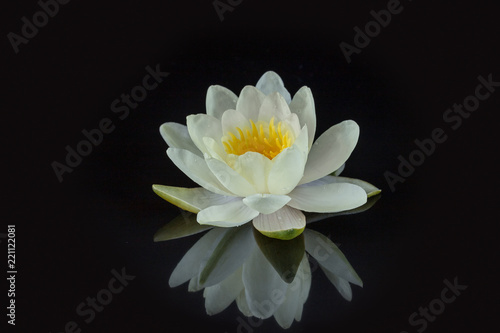 Poster de jardin Nénuphars White-yellow water lily