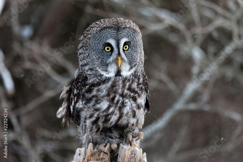 Colour landscape image of a Grey Owl, also known as Gray Owl, perched against a winter woodland scene with snow.