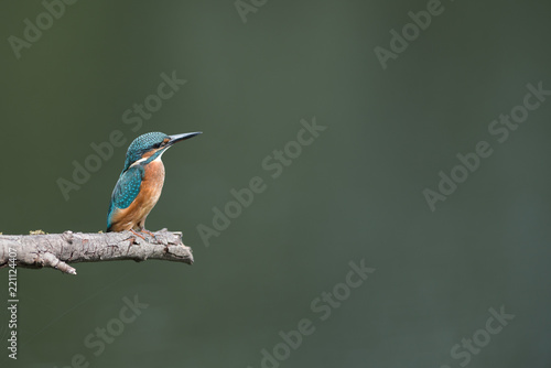 Kingfisher perching on branch