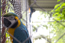 Beautiful Blue And Yellow Macaw In Cage