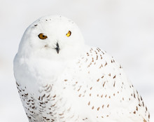 A Mature Snowy Owl Photographe...
