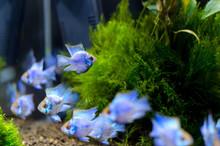Apistogramma Fish In Aquarium.