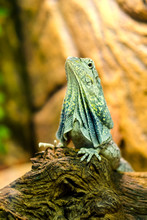 The Frilled-necked Lizard To The Branch.