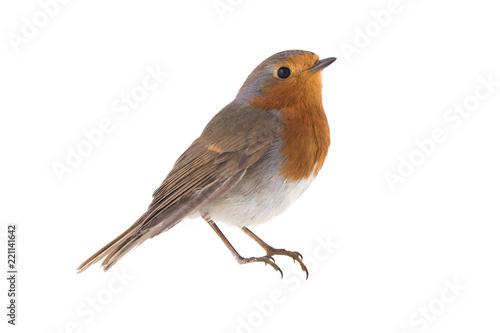 Stampa su Tela European robin (Erithacus rubecula)