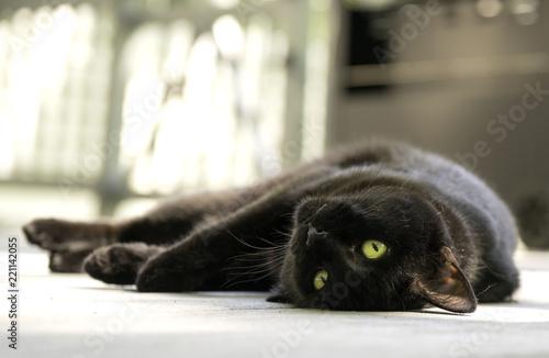 Fotografering Black Cat