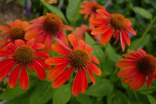 Clustered Group Of Bright Vivid Red Orange Beautiful Cheyenne Coneflower Blossoms In Garden With Green Leaves