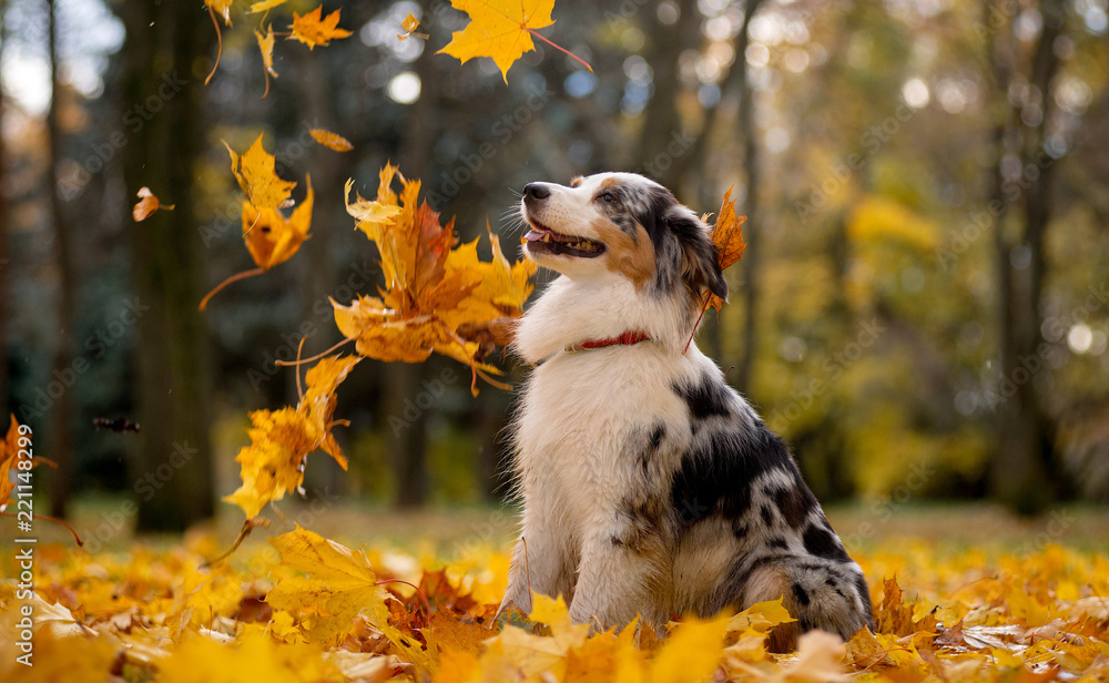 Fototapeta Aussie, the Australian shepherd marble fall in the pile of leaves flying around the leaves of the maple