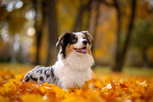 Aussi, A Marble Australian Shepherd In Autumn Lies In A Pile Of Leaves