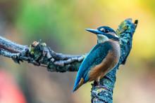 Kingfisher Or Alcedo Atthis Pe...
