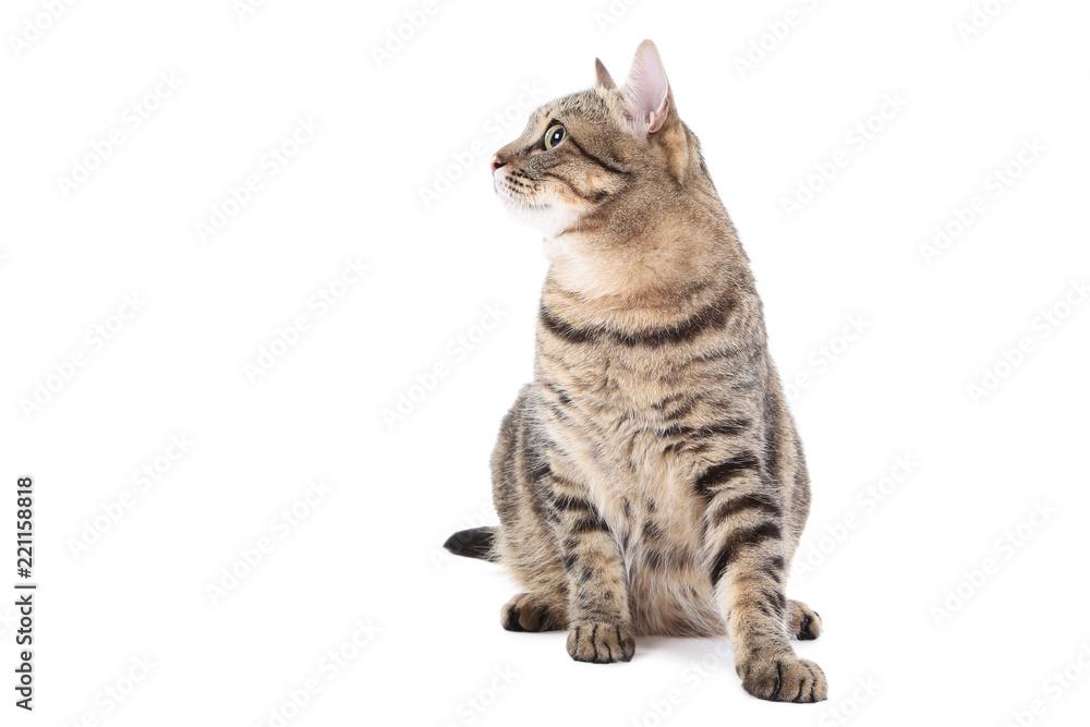 Grey cat isolated on white background