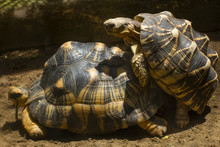 Tortoise Is Reproducing In The Desert