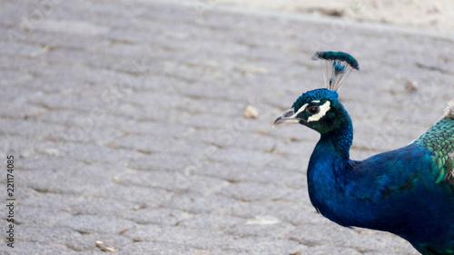 Foto op Aluminium Pauw Peacock head
