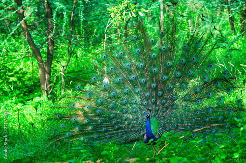 Peacock dancing in the middle of trees in a forest. This mating ritual during the monsoon rainy season showcases the beauty of the blue and purple feathers and it's status as the national bird of