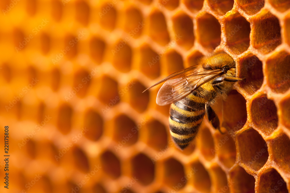 Fotografie, Obraz Bee on honeycomb.
