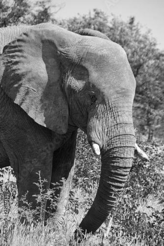 Foto op Aluminium Olifant Elephant, Namibia, Africa