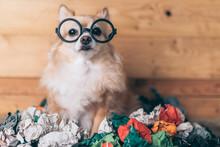 Naughty Brown Chihuahua Dog We...