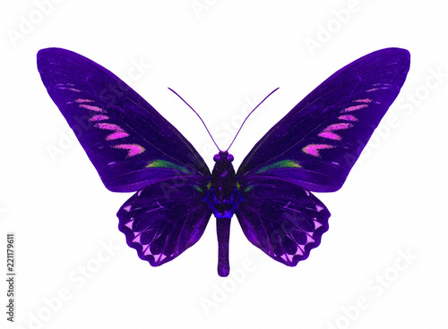 Tropical butterfly Rajah Brookes Birdwing isolated on white background Canvas Print