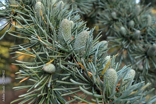 gray green young fruits of the pinnie Cedrus deodara