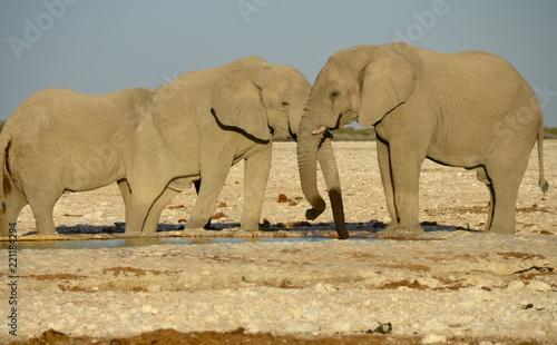Garden Poster Elephant Elephants, Etosha National Park, Namibia