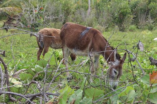 Fotografie, Obraz  Zwei Esel grasen auf der Wiese