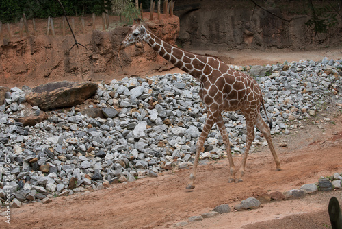Photo  Animals of the Zoo - Giraffe