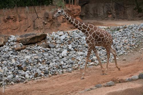 Photo  Animals of the Zoo - Giraffe