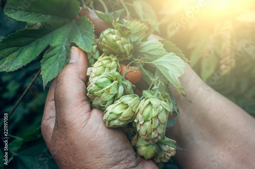 Valokuva  Branch of green fresh hop cones for beer and bread production in female hands
