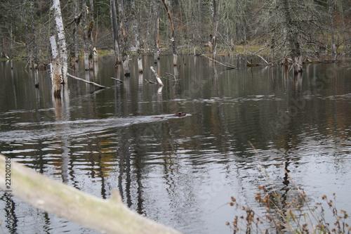 Fototapeten Natur Beaver in pond + tail slap