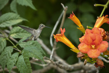 A Hummingbird In Midflight Nex...