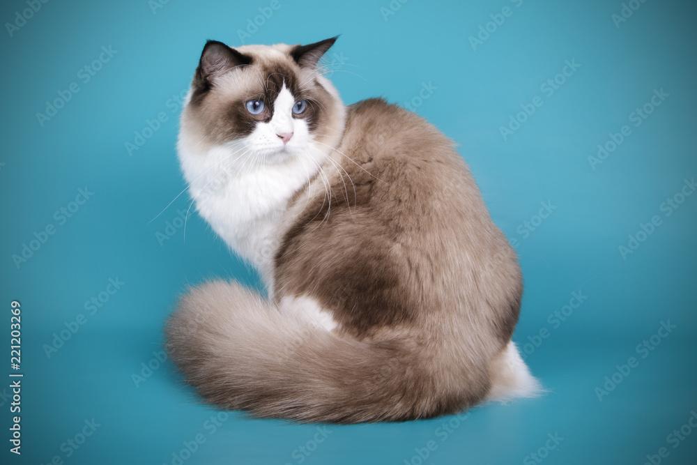 Ragdoll Cat On Colored Backgrounds Foto Poster Wandbilder Bei