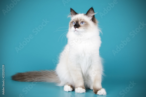 Ragdoll cat on colored backgrounds Canvas-taulu