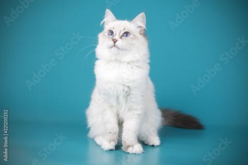 Valokuvatapetti Ragdoll cat on colored backgrounds