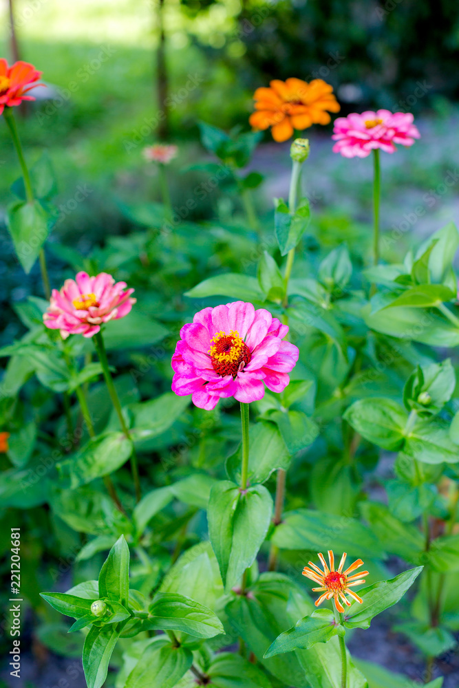 Multicolored zinnia in the garden. Selective focus